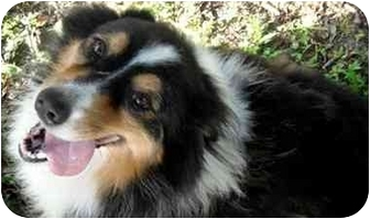 Australian Shepherd Dog for adoption in Orlando, Florida - Savannah