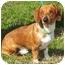 Photo 2 - Dachshund Dog for adoption in Seagoville, Texas - Bingo