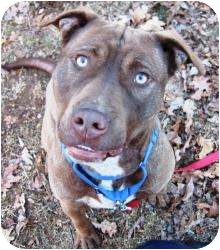 Labrador Retriever/American Pit Bull Terrier Mix Dog for adoption in Bloomfield, Connecticut - Arrow
