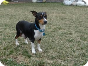 Dachshund/Fox Terrier (Smooth) Mix Dog for adoption in Marlton, New Jersey - Daphne