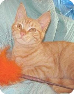Domestic Shorthair Kitten for adoption in Miami, Florida - Prince Harry