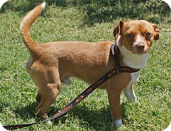 Chihuahua Mix Dog for adoption in Yuba City, California - 05/17 Sparky