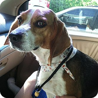 Beagle Dog for adoption in Hixson, Tennessee - Daizzee