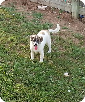 Australian Shepherd Mix Puppy for adoption in Richmond, Virginia - Leia