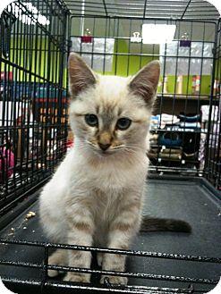 Siamese Kitten for adoption in Cerritos, California - Lucas