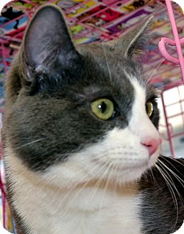Domestic Shorthair Cat for adoption in Taftville, Connecticut - Blue