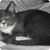 Adopt A Pet :: Frankie kitten - LUVbug - Cincinnati, OH