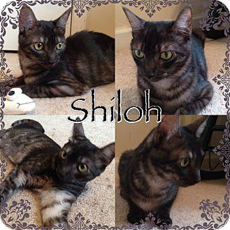 Domestic Shorthair Cat for adoption in Newnan, Georgia - Shiloh