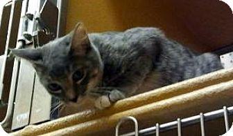 Domestic Mediumhair Kitten for adoption in Chandler, Arizona - Audi