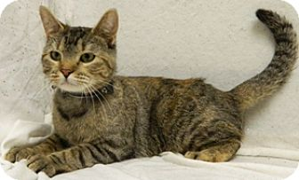 Domestic Shorthair Cat for adoption in Columbus, Nebraska - Mercury