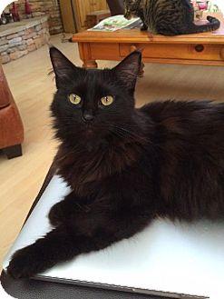 Domestic Mediumhair Cat for adoption in Satellite Beach, Florida - Jenga