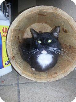 Domestic Mediumhair Cat for adoption in Daytona Beach, Florida - Littles
