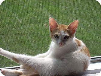 Domestic Shorthair Kitten for adoption in Parkville, Missouri - Ella Besa