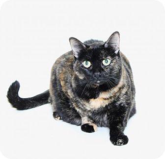 American Shorthair Cat for adoption in Truckee, California - Sassy
