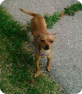 Chihuahua Dog for adoption in Union Grove, Wisconsin - Princess - Adopter or Foster