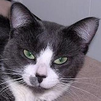 Domestic Shorthair Cat for adoption in St. Charles, Illinois - Missy