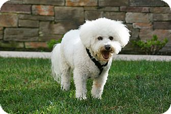 Bichon Frise Dog for adoption in Carlsbad, California - Buzz