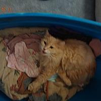 Turkish Van Cat for adoption in Saint Albans, West Virginia - Roman
