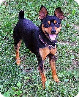 Miniature Pinscher Dog for adoption in Dover, Tennessee - Smokey