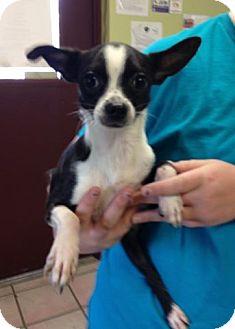 Boston Terrier Mix Dog for adoption in Newburgh, Indiana - Hansel