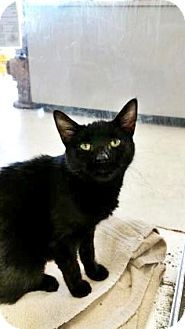 Domestic Shorthair Cat for adoption in Fort Smith, Arkansas - Susie