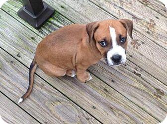 Pit Bull Terrier Puppy for adoption in Framingham, Massachusetts - Little Ricky