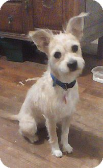 Jack Russell Terrier Mix Puppy for adoption in Austin, Texas - Grettal in San Antonio