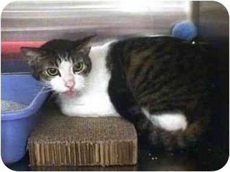 Domestic Shorthair Cat for adoption in Yorba Linda, California - Tom