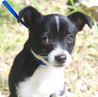 Terrier (Unknown Type, Small) Mix Puppy for adoption in Madison, Wisconsin - BABY LUNA