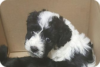 Cockapoo/Lhasa Apso Mix Puppy for adoption in Mesa, Arizona - DOMINO