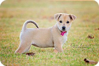 Labrador Retriever/German Shepherd Dog Mix Puppy for adoption in Chicago, Illinois - Riley
