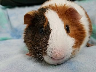 Guinea Pig for adoption in Harleysville, Pennsylvania - Abe