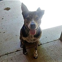 Adopt A Pet :: Duke - Crosbyton, TX