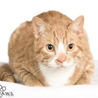 Domestic Shorthair/Domestic Shorthair Mix Cat for adoption in Tinley Park, Illinois - Vada
