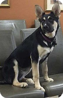 German Shepherd Dog Mix Puppy for adoption in Sealy, Texas - Bouffant