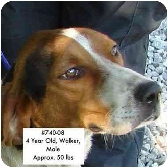 Treeing Walker Coonhound Dog for adoption in Zanesville, Ohio - I.D. # 740-08 - RESCUED!