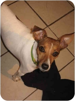 Jack Russell Terrier/Parson Russell Terrier Mix Dog for adoption in Buffalo, New York - Tinkerbell