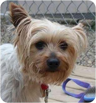 Yorkie, Yorkshire Terrier/Silky Terrier Mix Dog for adoption in Berea, Ohio - Castiel