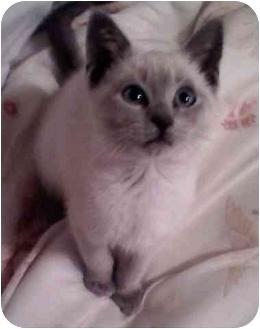 Siamese Kitten for adoption in Biggs, California - Sassy