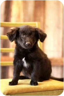 Labrador Retriever/German Shepherd Dog Mix Puppy for adoption in Portland, Oregon - Gail