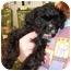 Photo 3 - Yorkie, Yorkshire Terrier/Cavalier King Charles Spaniel Mix Puppy for adoption in Lonedell, Missouri - Alex