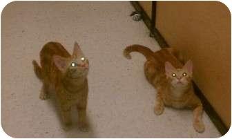 Domestic Shorthair Kitten for adoption in Palm desert, California - Cooper