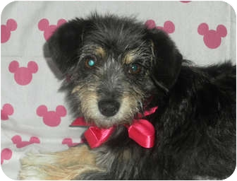 Yorkie, Yorkshire Terrier/Miniature Schnauzer Mix Puppy for adoption in Los Angeles, California - Libby