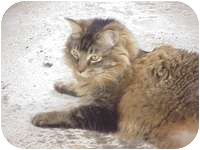 Maine Coon Cat for adoption in Tampa, Florida - Alex