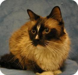 Siamese Cat for adoption in Sacramento, California - Popeye