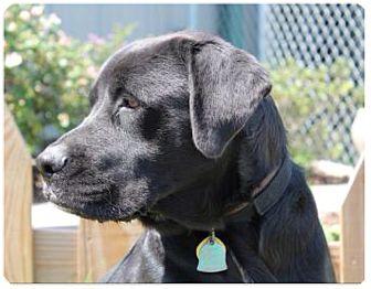 Mastiff/Labrador Retriever Mix Dog for adoption in Haughton, Louisiana - Sabine kill shelter (Lucy)