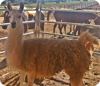 Llama for adoption in Sac, California - Santiago