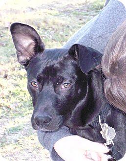 Labrador Retriever/Collie Mix Dog for adoption in Austin, Texas - Charlie