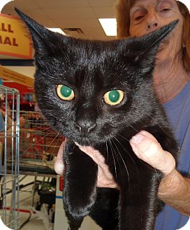 Domestic Shorthair Kitten for adoption in N. Billerica, Massachusetts - Merlin