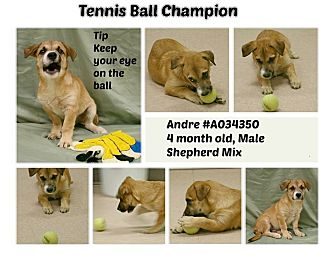 Shepherd (Unknown Type) Mix Puppy for adoption in Lufkin, Texas - Andre